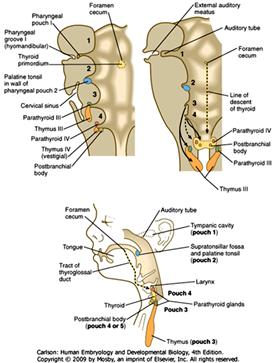duke embryology craniofacial development Parts of the Throat Diagram embryoheadimage3 embryoheadimage5