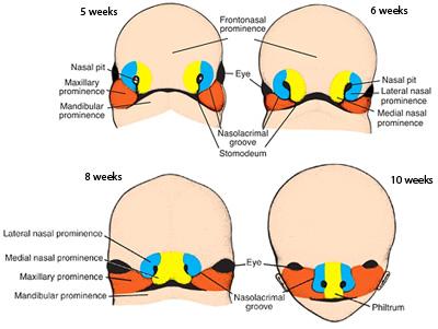 Index of /anatomy/embryology/craniofacial