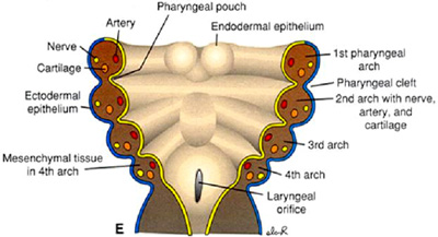 duke embryology craniofacial development Function of Pharynx a fates of pharyngeal clefts