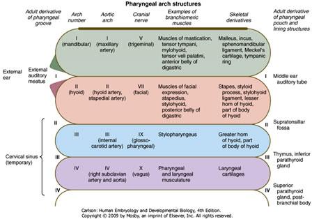 Duke Embryology - Craniofacial Development