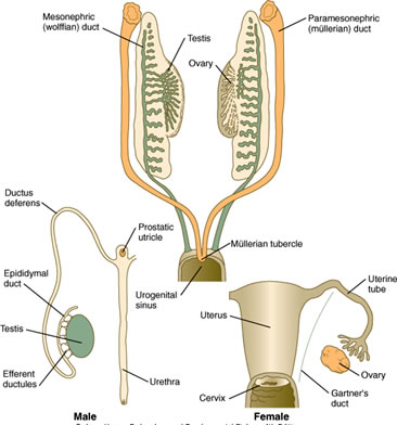 Duke Embryology Urogenital Development