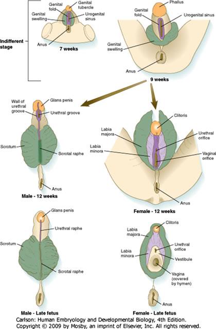 genitalia